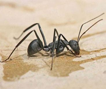 عوارض استفاده از روغن مورچه