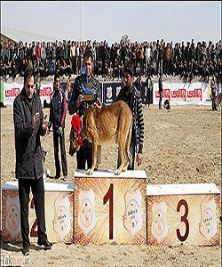 مسابقه ای برای سگ های شکاری و نگهبان