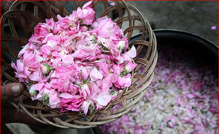 آیینهای گلچینی و گلابگیری در قمصر و سایر نقاط کاشان هر سال از اوایل اردیبهشت ماه آغاز میشود
