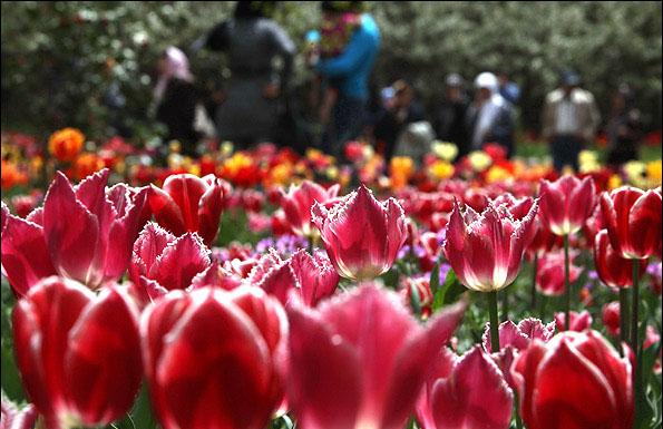 جشن گل لاله
